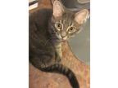 Adopt Binx a Gray, Blue or Silver Tabby Domestic Shorthair / Mixed cat in