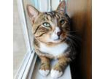 Adopt Hank a Brown Tabby Domestic Shorthair / Mixed cat in Antioch