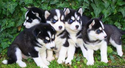 Live Live very very small smart Siberian Husky puppy female (candy)puppy, healthy, active, vaccines