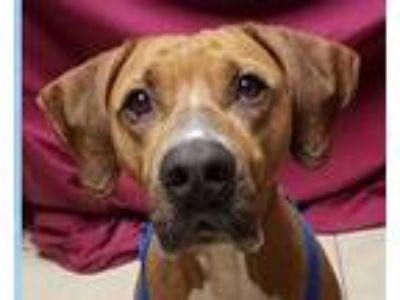 Adopt Buster a Red/Golden/Orange/Chestnut - with White Hound (Unknown Type) /