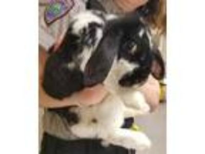 Adopt Elaine 4 a Black Mini Lop / Other/Unknown / Mixed rabbit in Cleveland