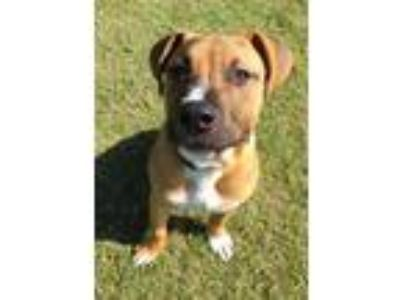 Adopt Jethro a Brown/Chocolate American Pit Bull Terrier / Mixed dog in