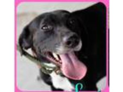 Adopt Lexi a Black - with White Labrador Retriever / Mixed dog in Ridgefield