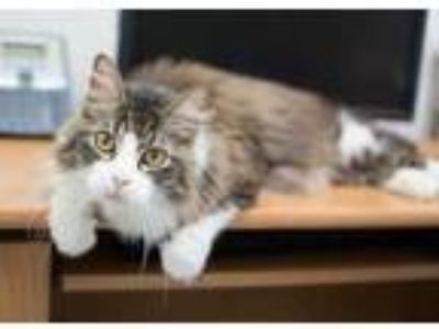 Adopt Butterball a Brown or Chocolate Domestic Longhair / Domestic Shorthair /