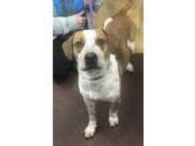 Adopt Freckles a Tan/Yellow/Fawn - with White Hound (Unknown Type) / Mixed dog