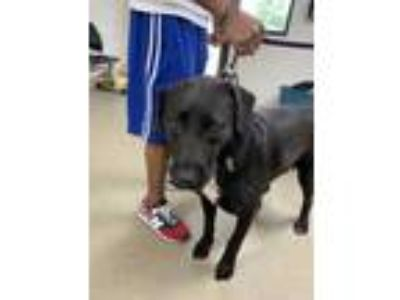 Adopt Luna a Black Labrador Retriever / Mixed dog in Fort Worth, TX (25869609)