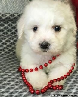 Best Ever Male & Female Bichon Frise Puppies