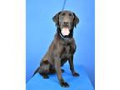 Adopt (found) Bellamy a Black Labrador Retriever / Mixed dog in Cabot