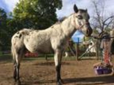 Lizzie 5 year old POA mare white appaloosa Rides drives