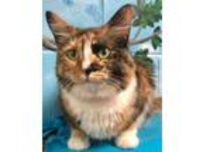 Adopt Xena a Domestic Long Hair, Domestic Short Hair
