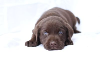 Labrador Retriever PUPPY FOR SALE ADN-97739 - Gorgeous AKC Chocolate Lab Puppies