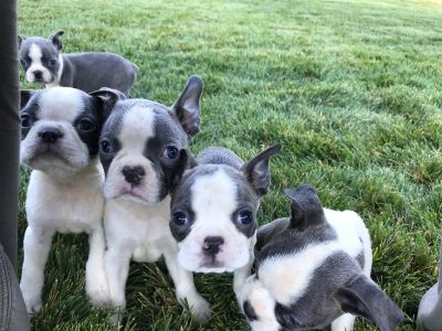 Rare blue and white Boston Terrier puppies AKC registration