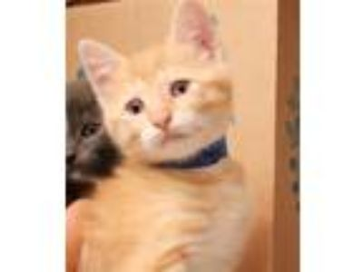 Adopt Poppie a Domestic Shorthair / Mixed cat in Sioux City, IA (25645650)