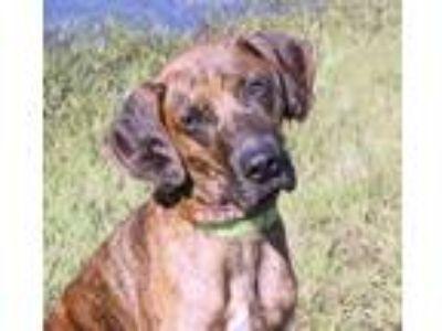 Adopt Stella a Red/Golden/Orange/Chestnut Redbone Coonhound / Mixed dog in