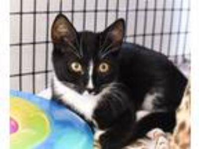 Adopt Gate TNR0715-2 a Domestic Shorthair / Mixed (short coat) cat in