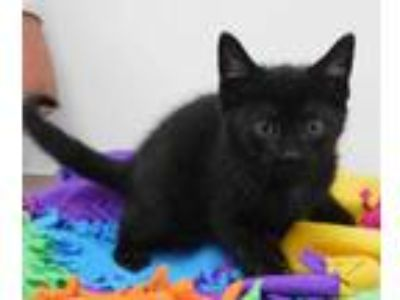 Adopt Jim a All Black Domestic Shorthair / Domestic Shorthair / Mixed cat in