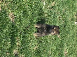 German Shepherd Dog PUPPY FOR SALE ADN-74576 - AKC German Shepherd