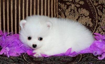 Beautiful full Pomeranian puppies!