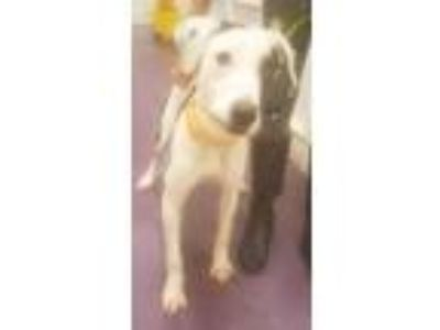 Adopt Kilesse a White - with Brown or Chocolate Pointer / Mixed dog in Dallas