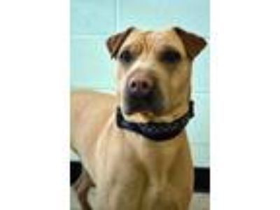 Adopt He-man (Hyperion) a Shar Pei / Labrador Retriever / Mixed dog in Logan
