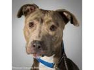 Adopt Kiera a Gray/Blue/Silver/Salt & Pepper American Pit Bull Terrier / Mixed