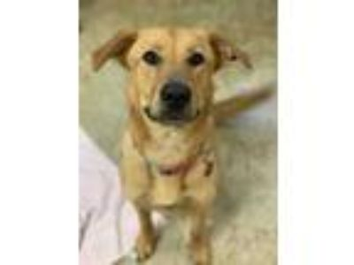 Adopt Ginny a Red/Golden/Orange/Chestnut Golden Retriever / Mixed dog in