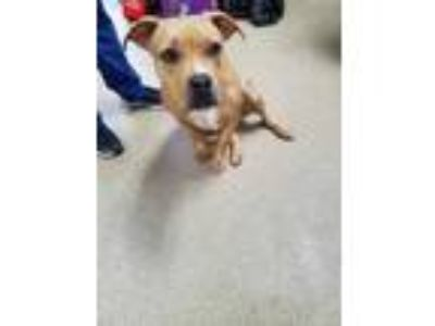 Adopt Princess a Tan/Yellow/Fawn American Pit Bull Terrier / Mixed dog in Fort