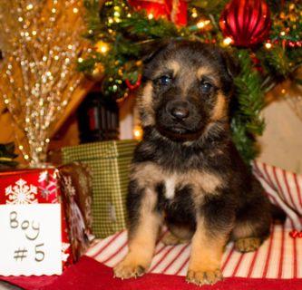 German Shepherd Dog PUPPY FOR SALE ADN-106993 - AKC German Shepherd Puppy