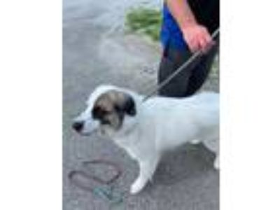 Adopt VIENNA a White - with Brown or Chocolate Great Pyrenees / Mixed dog in