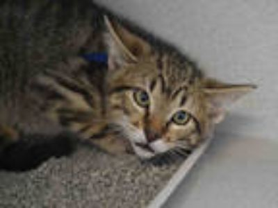Adopt LIL PAULEY a Brown Tabby Domestic Shorthair / Mixed (short coat) cat in