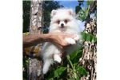 Healthy Home raised Pomeranian pups available call or sms 715) 863-2297