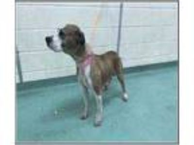Adopt Karma a Brown/Chocolate Boxer / Mixed dog in Fairfax Station