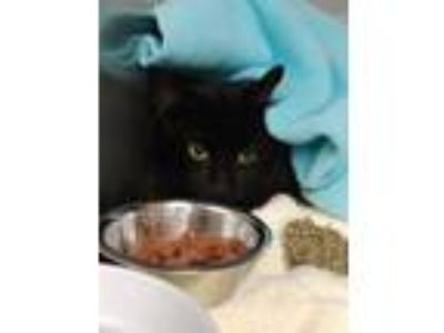 Adopt Jamie a All Black Domestic Longhair / Domestic Shorthair / Mixed cat in