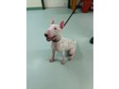 Adopt Chester a White Bull Terrier / Mixed dog in Lititz, PA (25851490)