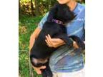 Adopt Bravo - beautiful puppy a Black Labrador Retriever / Mixed dog in Chicago