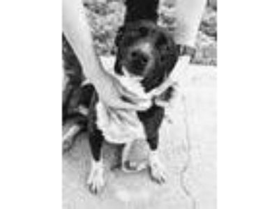 Adopt Linda a Black - with White American Staffordshire Terrier / Pit Bull