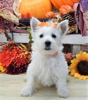 West Highland White Terrier PUPPY FOR SALE ADN-97067 - West Highland White Terrier Puppy
