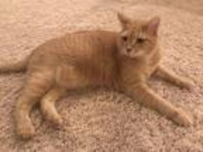 Adopt Simba a Orange or Red Tabby Domestic Mediumhair / Mixed cat in Severna