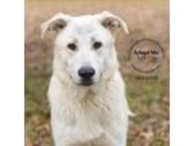 Adopt Bolthor a White German Shepherd, Great Pyrenees