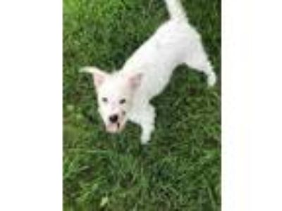 Adopt a White Norwich Terrier / Mixed dog in Louisville, KY (25876374)