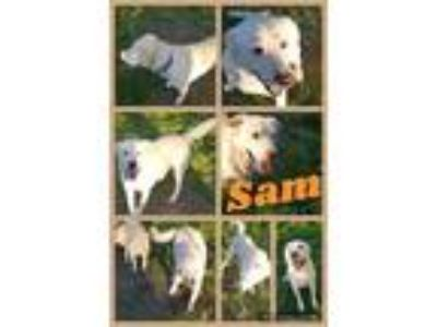 Adopt Sam a White Labrador Retriever / Golden Retriever dog in WATERLOO