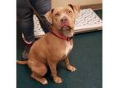 Adopt Hazel a American Pit Bull Terrier / Mixed dog in Oceanside, CA (25333303)