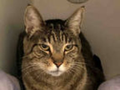 Adopt JESSIE a Brown Tabby Domestic Shorthair / Mixed (short coat) cat in