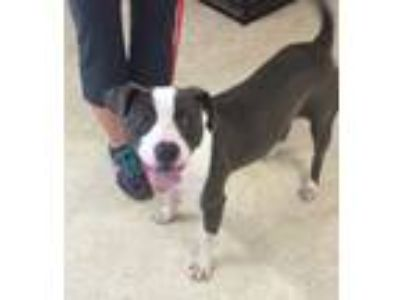 Adopt Penny a Pit Bull Terrier, American Staffordshire Terrier
