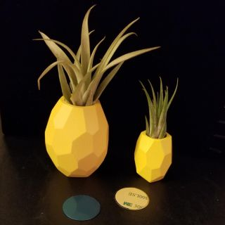 Live Air Plant in Sm Magnetic Pineapple