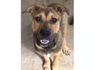 Adopt Wyoming a Brown/Chocolate - with Tan German Shepherd Dog / Mixed dog in