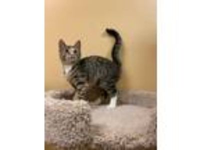 Adopt Fitch a Brown Tabby Domestic Shorthair (short coat) cat in Hiram