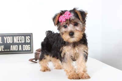 Yorkshire Terrier PUPPY FOR SALE ADN-99498 - Alice Sweet Female Yorkie Puppy