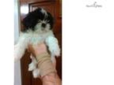 Shih Tzu Black and white