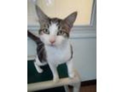 Adopt Pharoh a Brown Tabby Domestic Shorthair / Mixed (short coat) cat in